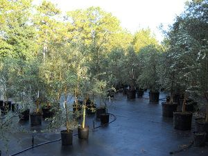 Olive Tree Growers - Instructions for Planting or Re-potting Your Olive Tree