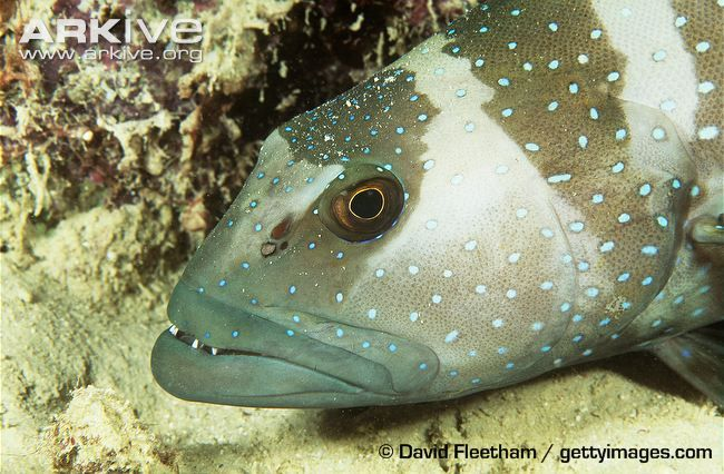 Blacksaddled coral grouper in dark colour phase, head detail