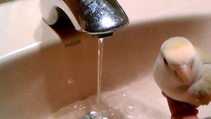 Agaporni bebiendo agua del grifo