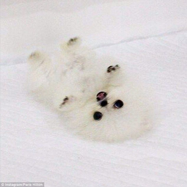 The furry white dog from Betty's Teacup Yorkies in Calgary, Canada weighs approximately less than two pounds