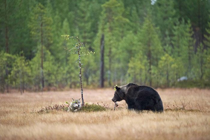 rare-animal-friendship-gray-wolf-brown-bear-lassi-rautiainen-finland-chilling