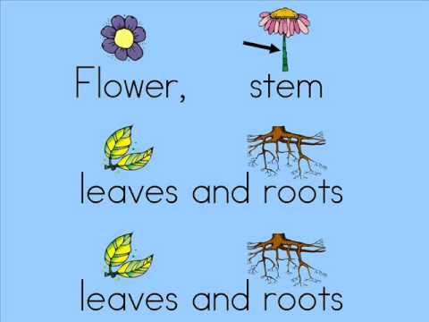 Plant parts song by Dr. Jean (to the tune of head, shoulder, knees and toes)