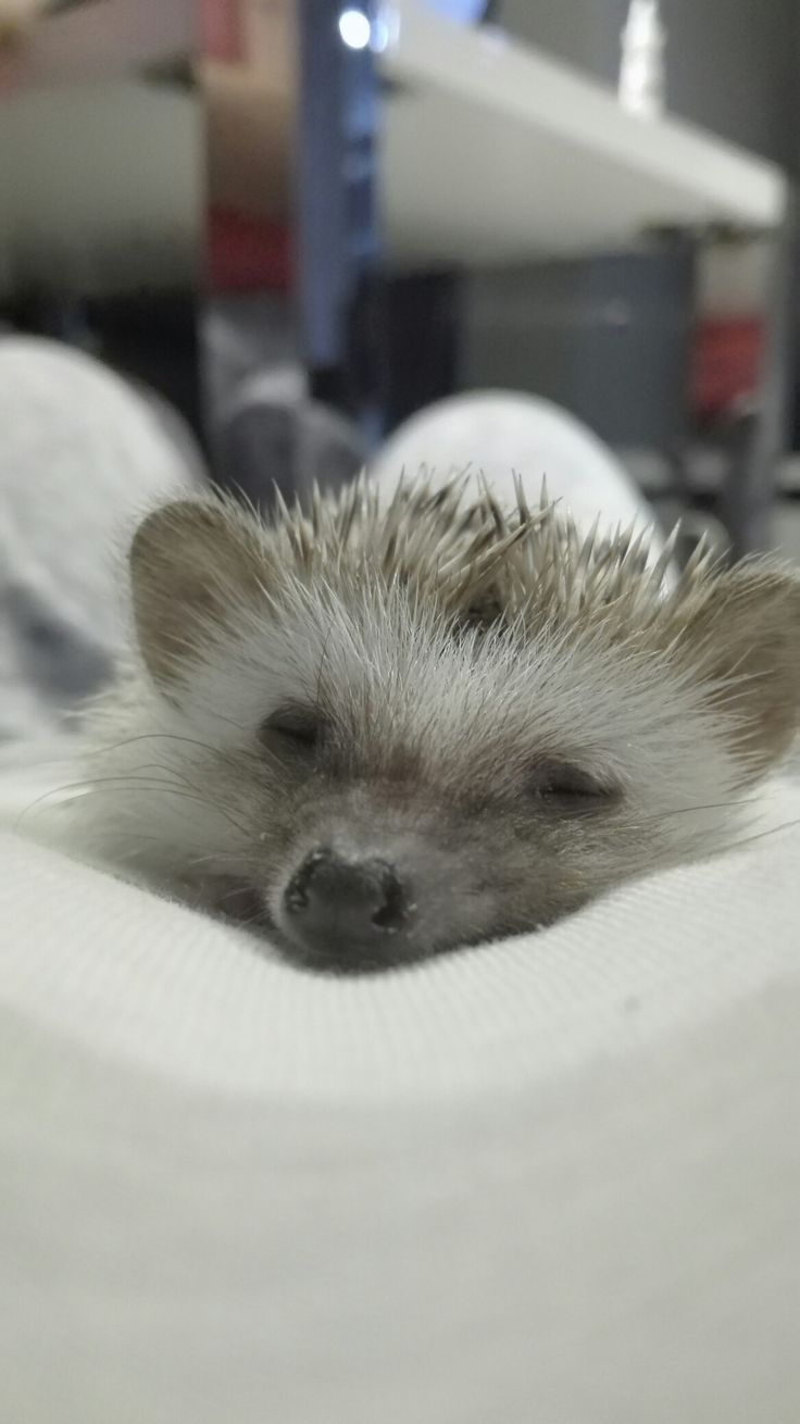 My pet, hedgehog, Rosie, ježek bělobřichý, sleep