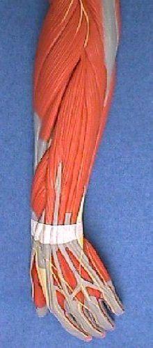 Forearm anatomy (extensors)