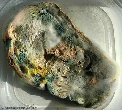 mold colonies on bread