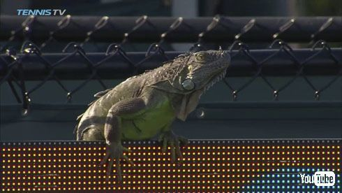 国際テニス大会にイグアナ乱入し試合が中断 コートを走る姿に喝采が飛びハーフタイムショウ状態に