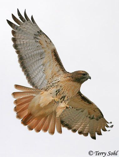 Red-tailed hawk ~ I miss seeing these all along McAlester to Tulsa