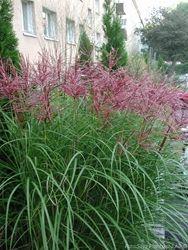 Essunga Plantskola - Miscanthus sinensis 'Malepartus'