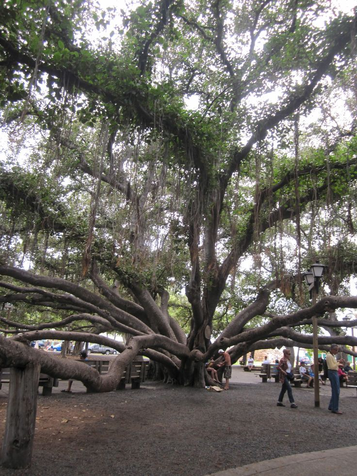 Banyan Tree Laihaina, Maui Hawaii.  I love sitting down and resting under this tree.  It is huge.