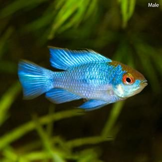 124 curated fish i like ideas by shihtzugirl2 cichlids for Colorful freshwater fish for sale