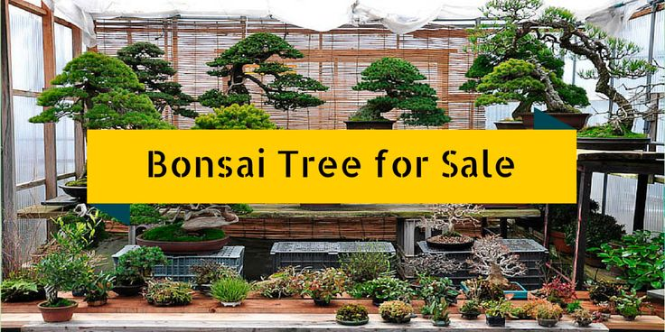 the 25 best bonsai trees for sale ideas on pinterest bougainvillea bonsai bonsai trees and