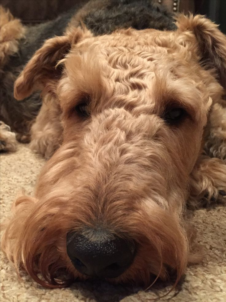 b8f9b393901038d1286216f15eac1264 airedale terrier baby