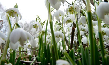 The Stubbornness Of Snowdrops
