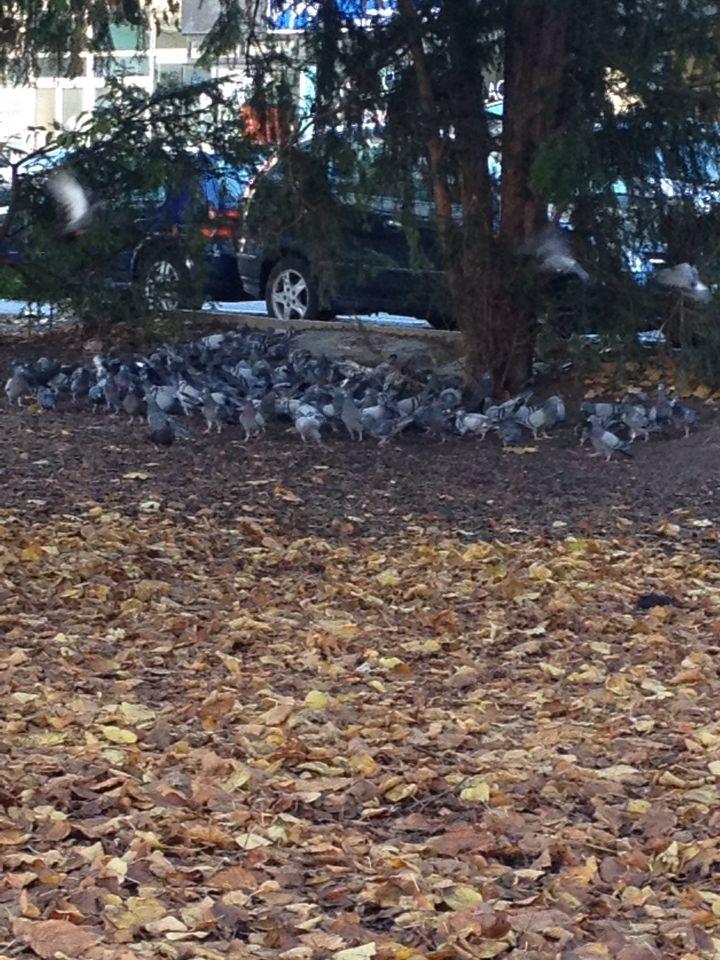 Pigeon feeding time Parc Gourgas, Genève