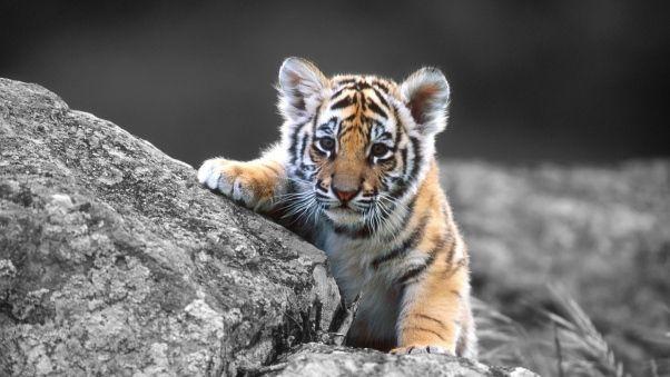 Wallpaper tiger, cub, stone, sit