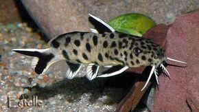 Keeping Synodontis Aquarium Catfish