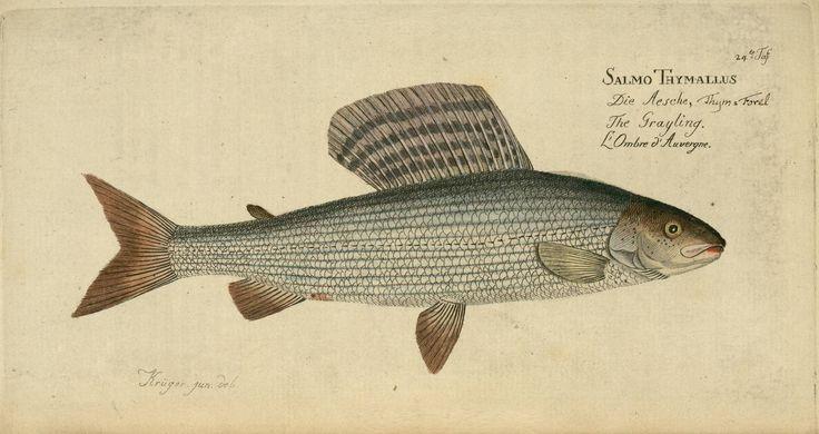 Salmo thymallus fish from Oekonomische Naturgeschichte der Fische Deutschlands