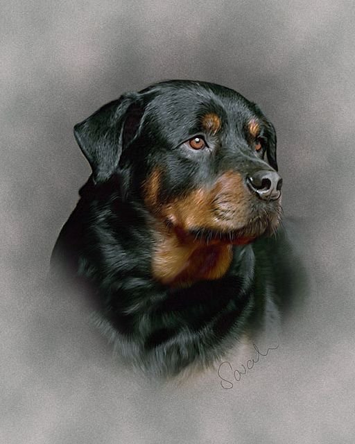Rottweiler by Sarah Dowson  This is a hand painted digital Pet Portrait. Painted in Photoshop using a Wacom Pen Tablet.   This painting is to be added to the large dog category which is to be added to my website.   For more information about Me and my Pet Portraits please visit: www.sarahspetportraits.com/about-me.html