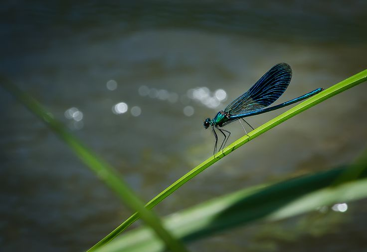 Dragonfly by Dominique Toussaint on 500px