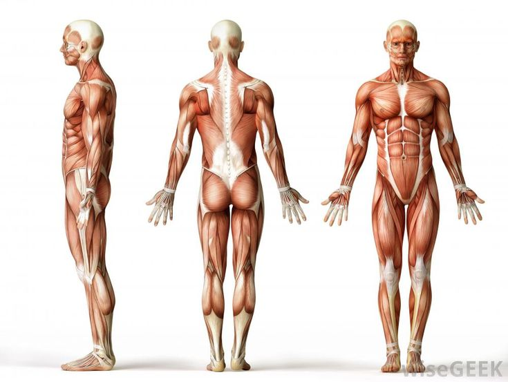 14 best anatomy images on pinterest | anatomy reference, human, Muscles