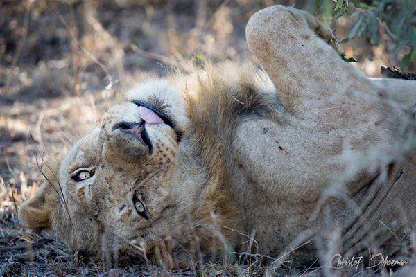 """Rest and be thankful."" -William Wordsworth Pic by Christof Schoeman (http://bit.ly/ChristofSchoeman …) #lion #safari #sunday"
