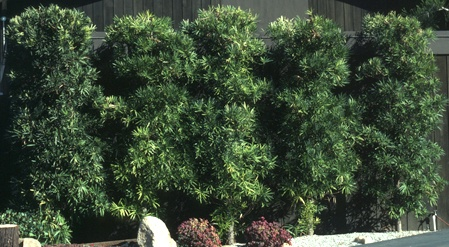 Podocarpus hedge - plant fence on Andy's side of the house