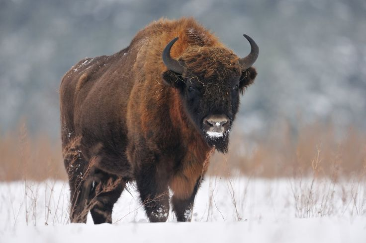 The European bison (Bison bonasus), or 'wisent', is similar in appearance to its North American relative. Bison in the Bialowieza Forest in Poland have traditionally been fed hay in the winter for centuries, and vast herds may gather around this diet supplement.
