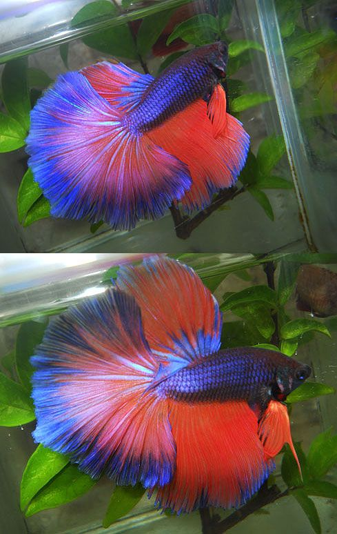 216 best beautiful betta 39 s images on pinterest fish for Betta fish care water