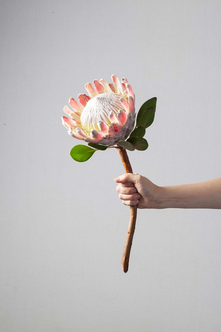 158 best proteas images on pinterest exotic flowers for King protea flower arrangements