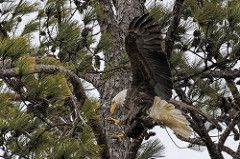 BC Female Bald Eagle 4