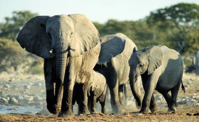 Google Image Result for http://toptenfamous.com/wp-content/uploads/2012/05/african_elephant.jpg
