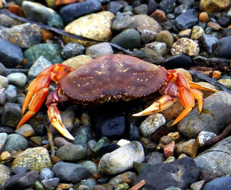 Dungeness Crab shell on the beach [Nanaimo, BC] | Crustaceans | Pinterest | Animal