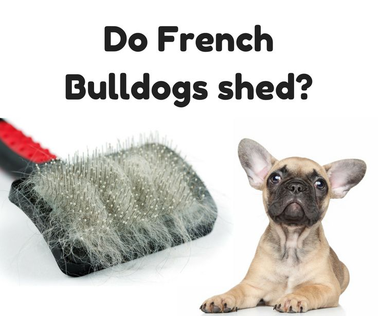 Does Your French Bulldogs Shed? Discover the top 10 best grooming tools to reduce your French Bulldog from shredding all over your clothes, couch, and home!
