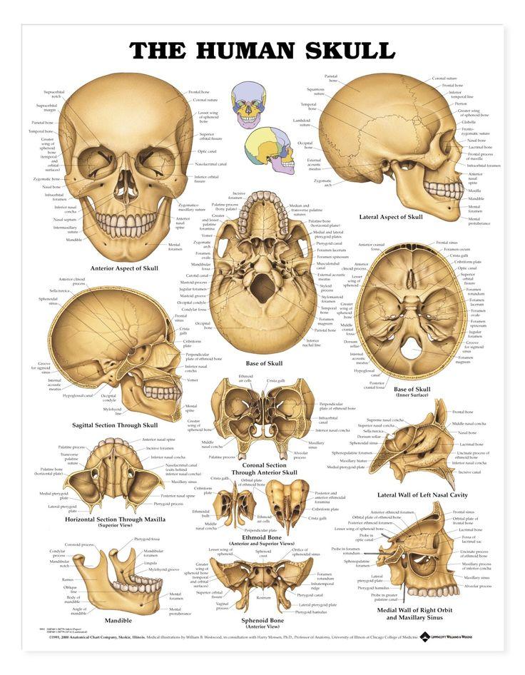 Human Skull Poster - perfect for illustrators for reference: http://www.4anurse.com via @Skull_Society
