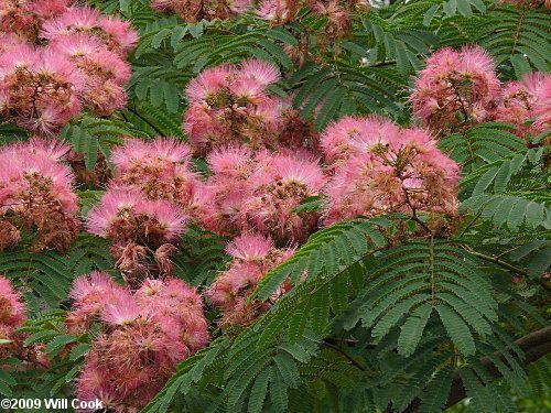 Albizia julibrissin - silk tree (mimosa)
