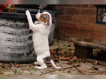 Jack Russell Terrier Welpen (Tricolor/Blue-Merl) zu verkaufen!