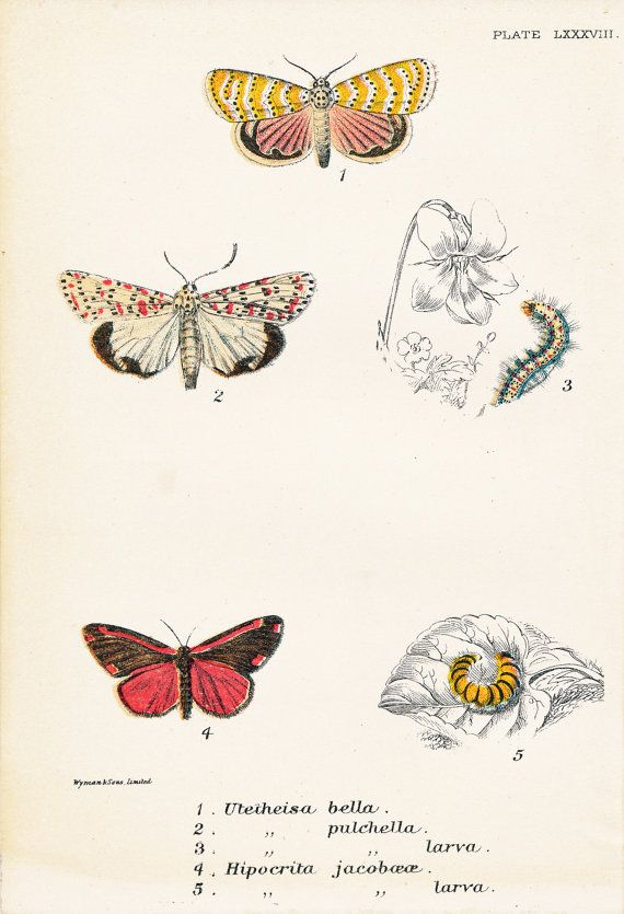 Beautiful Utetheisa Moth, Cinnabar Moth by PeonyandThistlePaper, £18.00