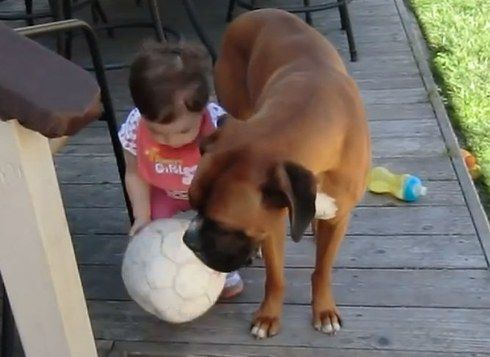 Maximus the Boxer protects his little human and makes sure she does'nt fall down the stairs.   Related: Smart Boxer helps turn on water for bath tub (video) Gentle Boxer and baby greet each other sweetly (video) Gentle Boxer comforts a friend (video)