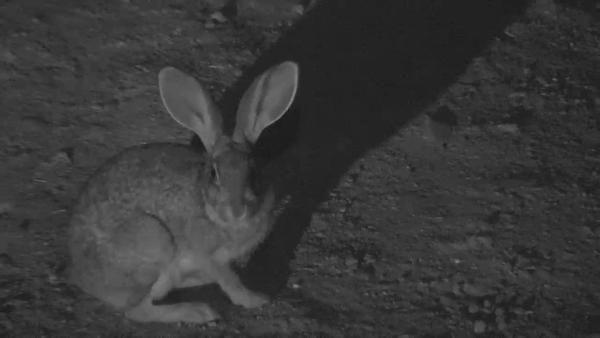 Scrub Hare at Naledi - Jun 18 2016 - 9:53pm   Africam