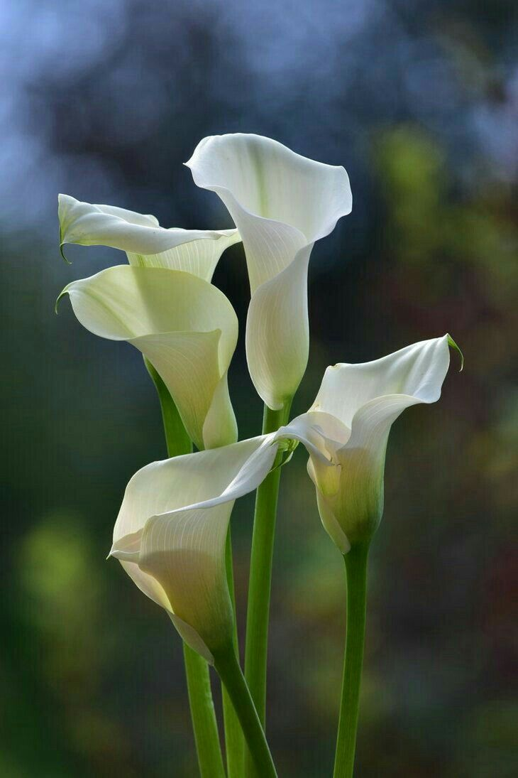 Pin By Mona Moni On Zambaket Lily Plants White Lily Flower Calla Lily