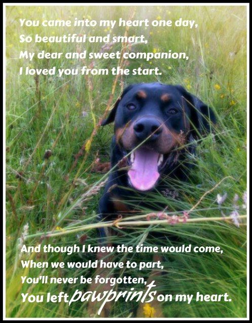 In Memory Of All Our Rottweiler Friends Who Ve Crossed