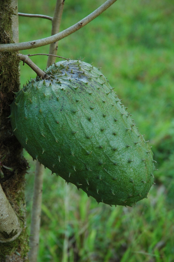 #Guanabana from #CostaRica. This fruit is believed to have amazing cancer-fighting properties. All I know for sure, is that it tastes great!