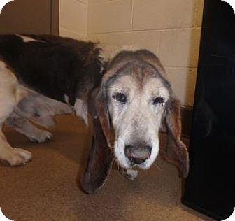 Apple Valley CA: Urgent Basset Hound Mix. Meet Henry-Special Needs Senior available for ADOPTION TODAY 1/4/17