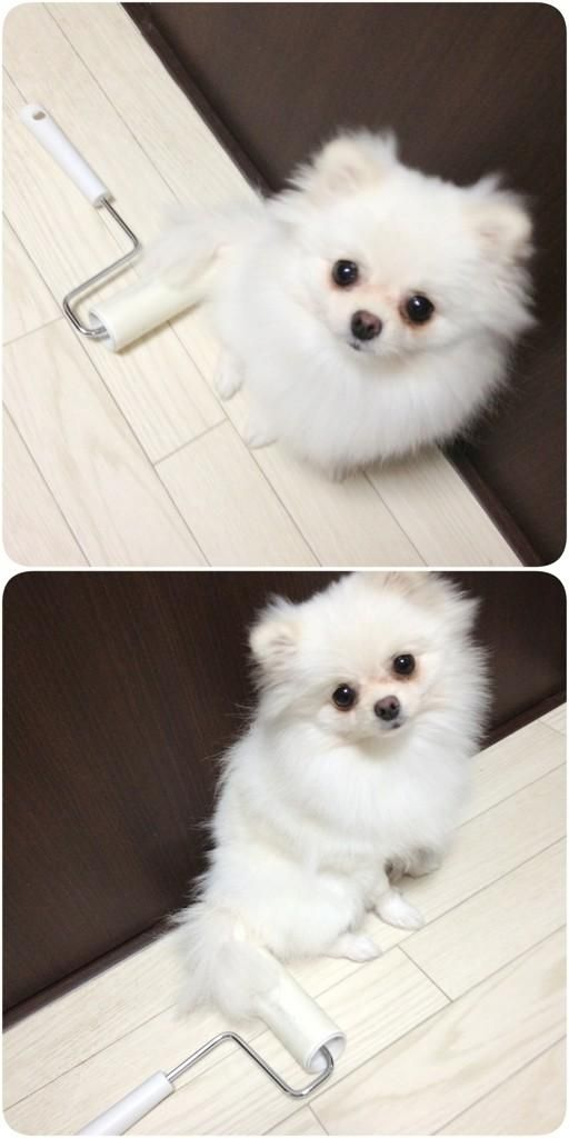 Cute little white pom