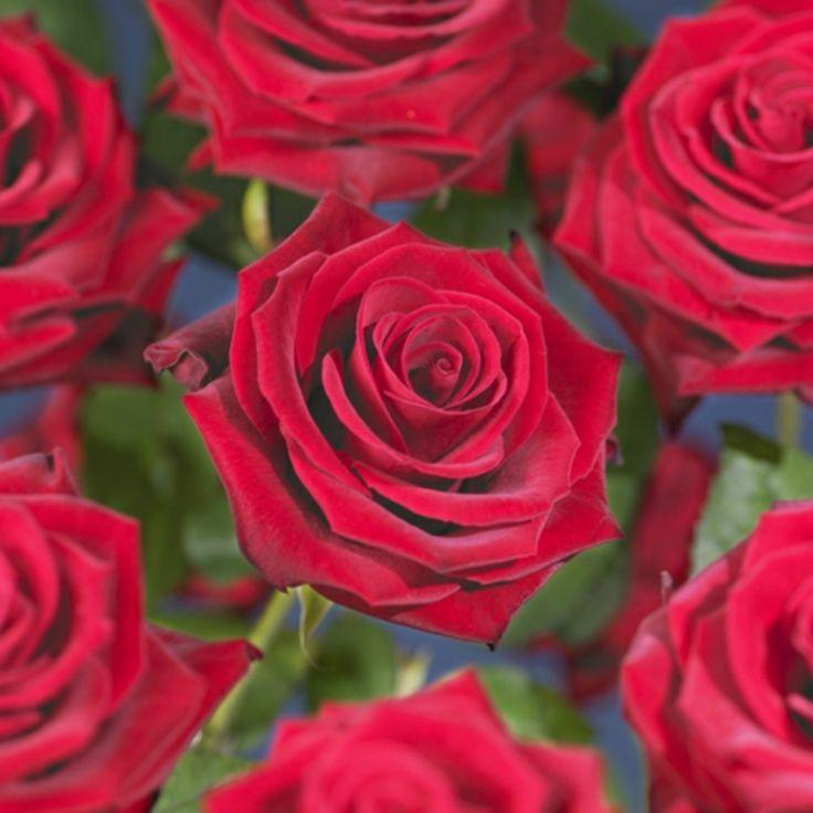 Climbing rose 'Sympathie' - Plantagen.se