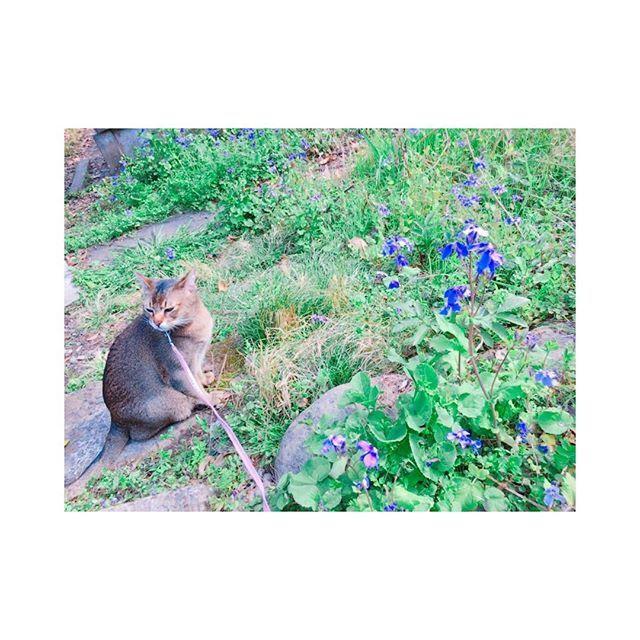 * * * この嫌そうな顔。^._.^ #大豆 #だいず #猫 #愛猫 #可愛い #アビシニアン #バーミーズ #散歩 #春 #花粉 #河川敷 #ふらり #桜 #嫌そう * * *