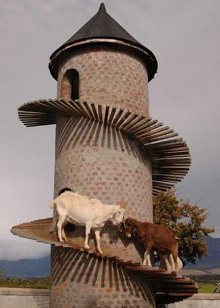 South African farmer Charles Back owns a group of Swiss Mountain Goats but no mountains for them to climb on. So he invented a tower home for his goats that would help keep them fit as well as giving them a cool roof above their heads.  Goat towers now also exist in other locations around the world.