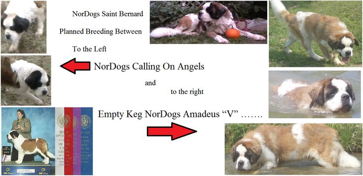 NorDogs Saint Bernard's are Proud to announce that we have some very exciding and high quality breeding's planned. Check them out then Call to get a puppy reserved just for you and get on our Puppy waiting list and let us breed your next best friend. Our dogs are healthy and raised in our home with us 24/7 with children and other dogs for a happy healthy well rounded friendly pup. Call us at 865-945-7063 and check us and our Dogs out at www.NorDogs.com