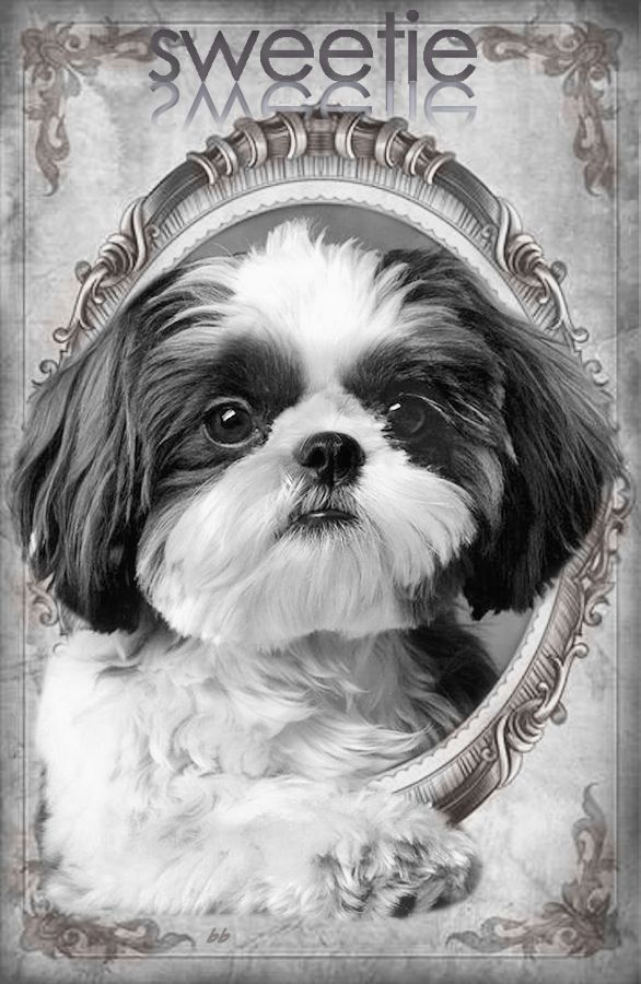 buy shih tzu puppies 25 best ideas about baby shih tzu on pinterest cavapoo 9012