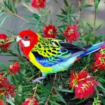 Eastern Rosella, beautiful parrot with its strikingly colorful plumage is native to southeast of the Australian continent & Tasmania